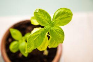 Fresh Basic Plant in a Pot